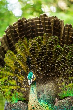 peacock  in chiangmai zoo, chiangmai Thailand photo
