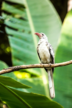 red-billed hornbill in chiangmai zoo, chiangmai Thailand photo