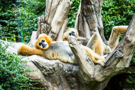 gibbon  in chiangmai zoo, chiangmai Thailand photo