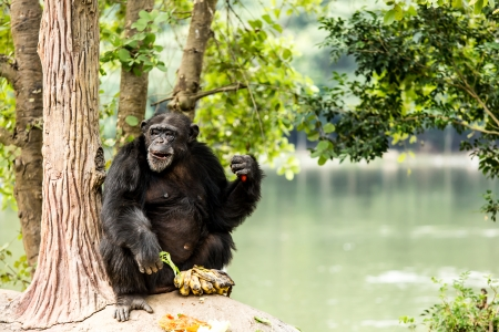 chimpanzee  in chiangmai-nightsafari chiangmai Thailand photo