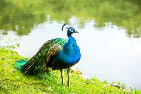 peacock  in chiangmai zoo, chiangmai Thailand photo
