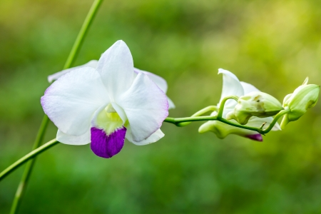 Vanda orchid in chiangmai Thailand photo