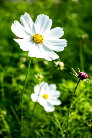 chiangmai province: cosmos flower in chiangmai province Thailand