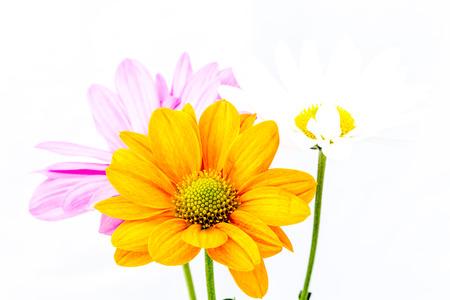 close-up chrysanthemum flower Stock Photo
