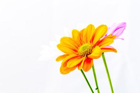 close-up chrysanthemum flower photo
