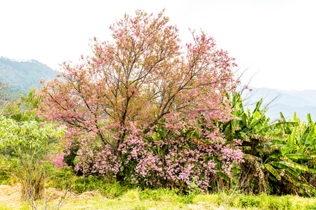 wild himalayan cherry in Khunwang royal project development center chiangmai Thailand