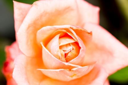 rose flower in chiangmai Thailand Stock Photo