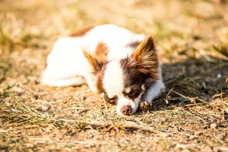 chihuahua dog in chiangmai Thailand Stock Photo