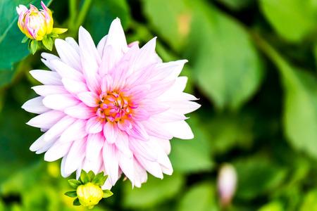 dahlia flower in chiangmai province Thailand