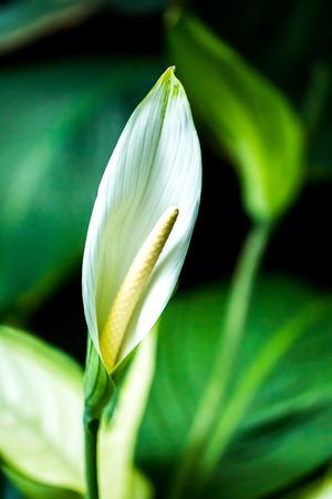white araceae in chiangmai Thailand Stock Photo
