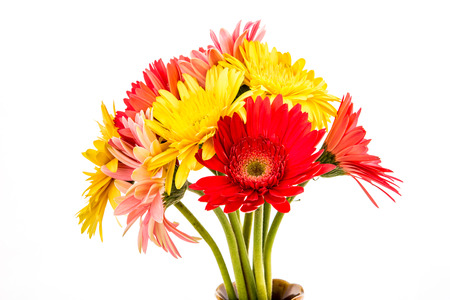 closeup gerbera flower , white background photo