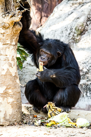 chimpanzee sitting in chiangmai-nightsafari chiangmai Thailand photo