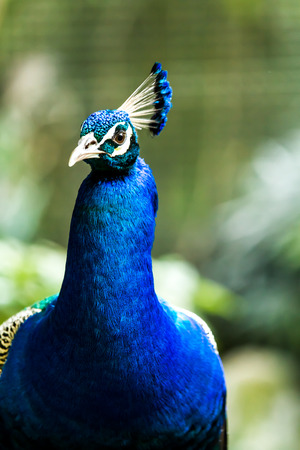 peacock in chiangmai-nightsafari, chiangmai Thailand photo