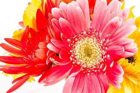 closeup gerbera flowers , white background