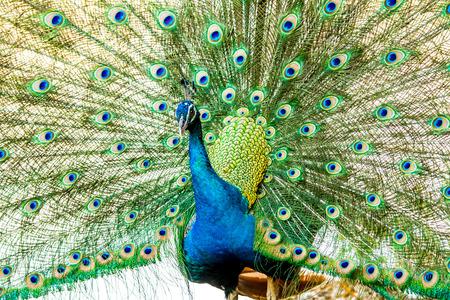 peacock in chiangmai-nightsafari, chiangmai Thailand photo