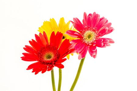 closeup gerbera flower , white background