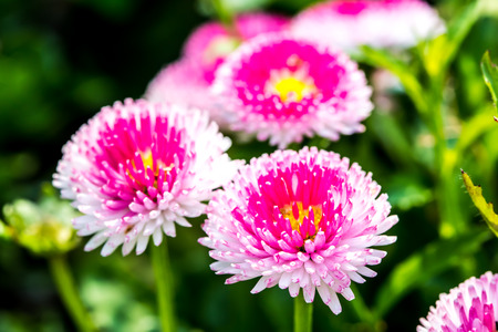 English daisy flowers  in chiangmai Thailand photo