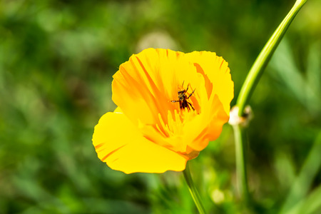 Poppy flower in chiangmai Thailand photo