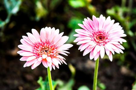 gerbera flowers in the royalflora, chiangmai Thailand Stock Photo