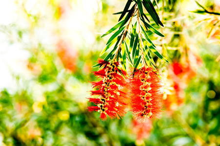 chiangmai: bottle brush flower in the royalflora, chiangmai Thailand