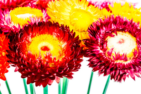 closeup helichrysum flower, white background photo