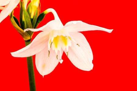 closeup narcissus flower, red background Stock Photo