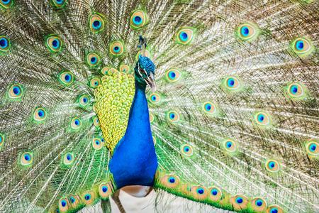 peacock in lumphun Thailand photo