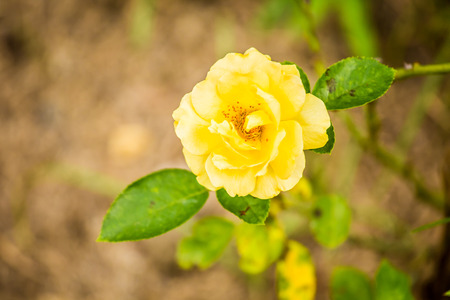 rose  flower in chiangmai Thailand