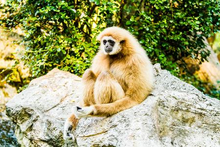hominid: gibbon in chiangmai zoo thailand. Stock Photo