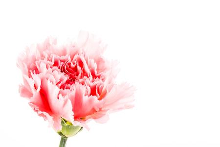 carnation flower on white background photo