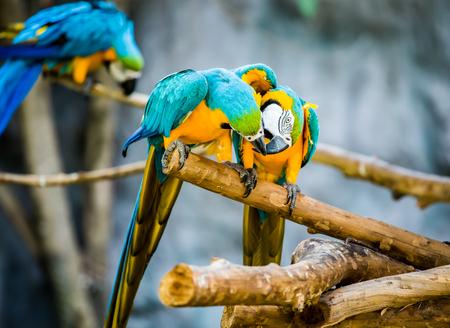 macaw in chiangmai Thailand Stock Photo