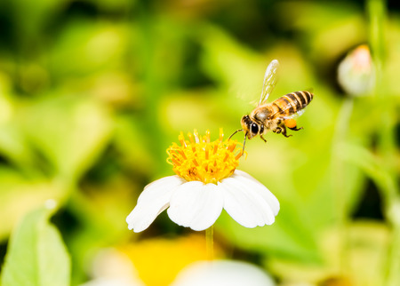 bee on white flower: Bee eat pollen of flower Stock Photo