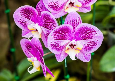 vanda orchid Reklamní fotografie - 50445453