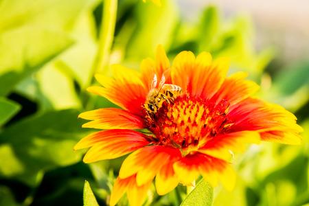 bee and pollen: bee eat pollen flower