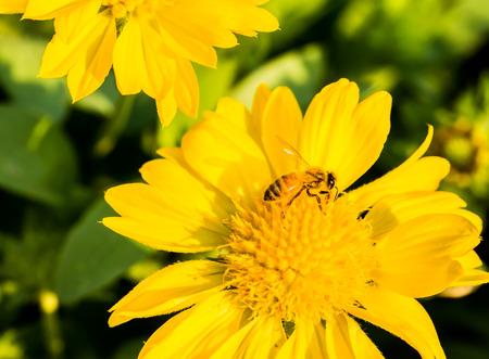 bee on flower: bee eat pollen flower