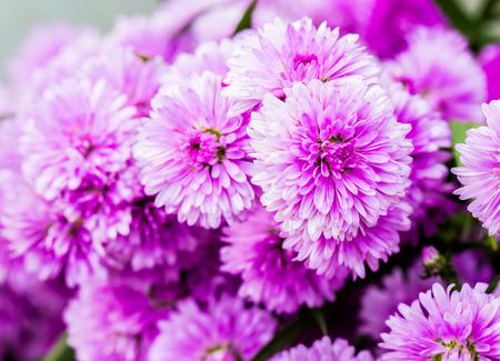 gerber daisy: closed up pink flower