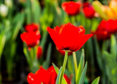 red tulip: red tulip flower