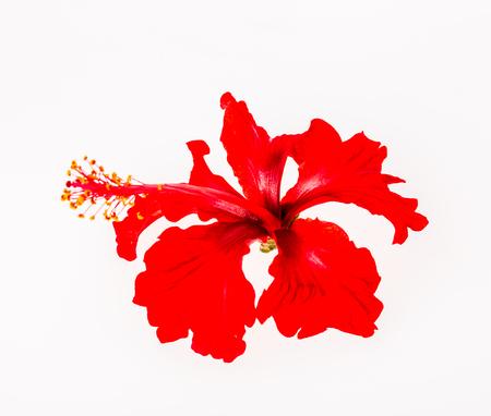 fiore rosso su sfondo bianco