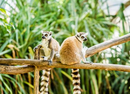 lemurs in chiangmai Thailand