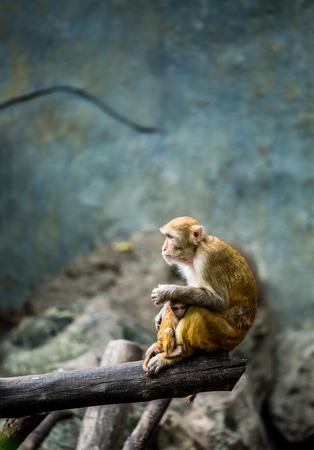 primates: monkey in chiangmai Thailand Stock Photo