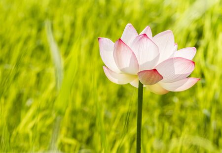Pink lotus flower in the field, Lunphun province Thailand