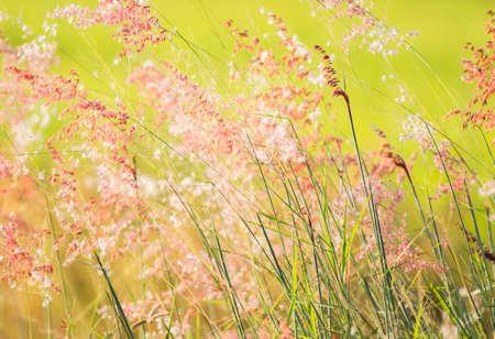 Grass flowers in the field , Chiangmai Thailand Standard-Bild