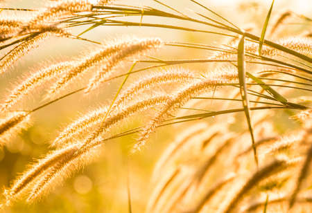 Silhouette of grass flower   in the morning, Chiangmai province Thailand Standard-Bild