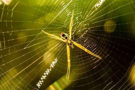 Spider  holding  on  web in the morning  , Chiangmai Thailand