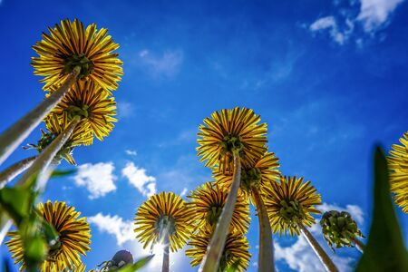Fleur jaune : regardant vers le ciel Banque d'images