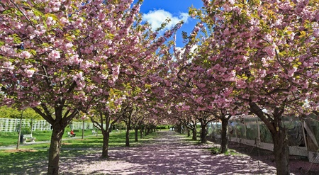 Two rows of blooming cherry trees at the Brooklyn Botanical Gardens in Brooklyn, NY Stock Photo