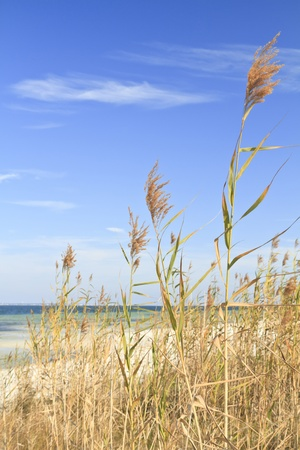 Vertical image of Sea Oats waving in the breeze on the sound side of Santa Rosa Island, part of the Gulf Island National Seashore Stock Photo