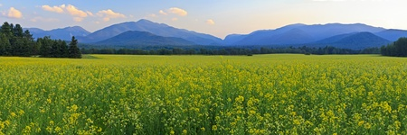 Panoramic view of Mt. Colden, Mt Jo and Wright Peak with a a huge field of yellow Canola FLowers in the foreground in the High Peaks region of the Adirondack Mountains of New York Stok Fotoğraf