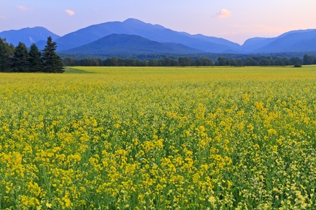 Panoramic view of Mt. Colden, Mt Jo and Wright Peak with a a huge field of yellow Canola Flowers in the foreground in the High Peaks region of the Adirondack Mountains of New York Standard-Bild