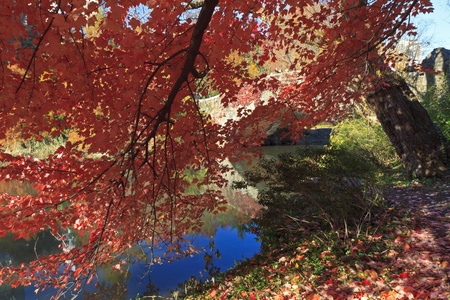 A maple tree with bright red Autumn leaves hangs over the Central Park Pond, New York City photo